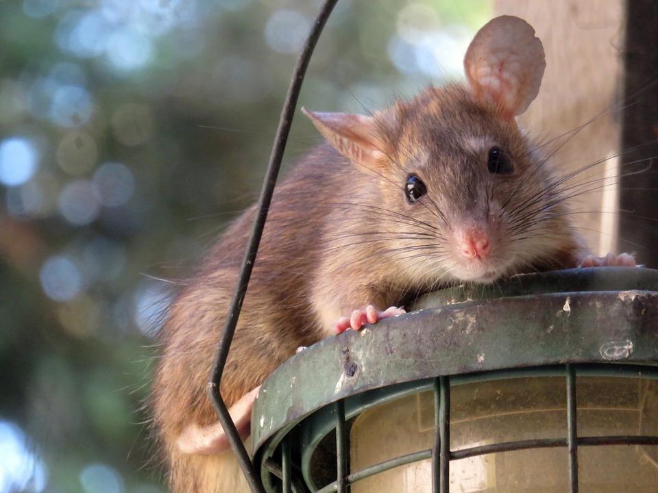 Le rat brun ou rat d'égout